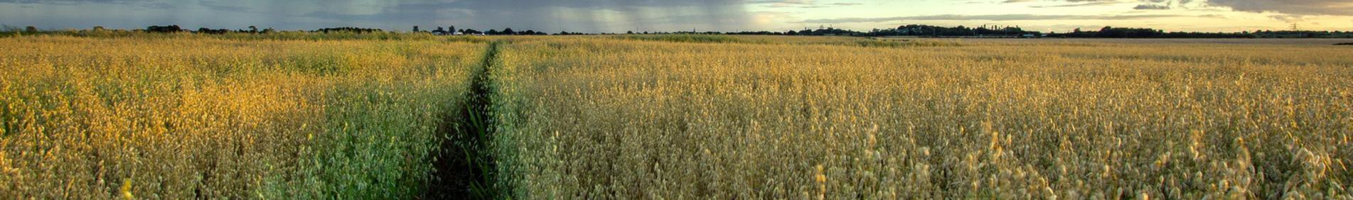A aveia é um cereal muito nutritivo, que possui cálcio, ferro, proteínas, além de vitaminas, carboidratos e fibras. A aveia está em evidência atualmente pelo alto poder benéfico da sua fibra solúvel, que está relacionada a um bom funcionamento intestinal,