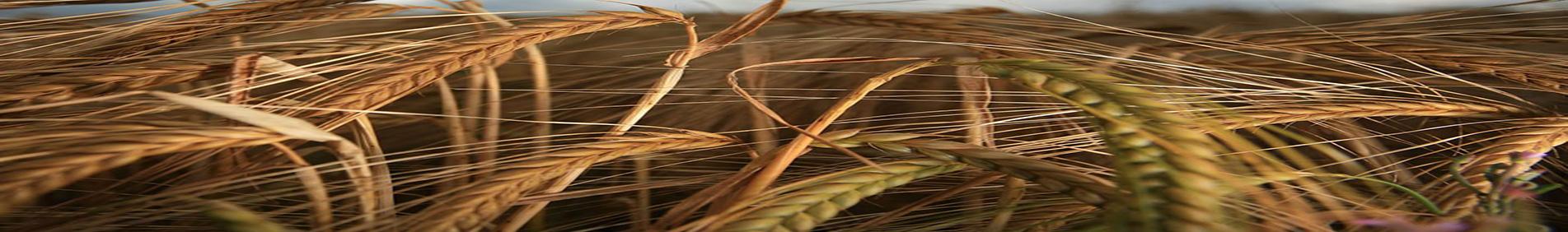 A cevada fornece uma farinha alimentícia e o produto resultante da germinação artificial dos grãos é utilizado na fabricação da cerveja e de outros produtos.  A cevada é ainda empregada em alimentação animal como forragem verde e na fabricação de ração.