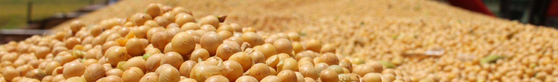Soja é um grão rico em proteínas, cultivado como alimento tanto para humanos quanto para animais. A soja pertence à família Fabaceae (leguminosa), assim como o feijão, a lentilha e a ervilha. É empregada na alimentação, sobretudo na indústri