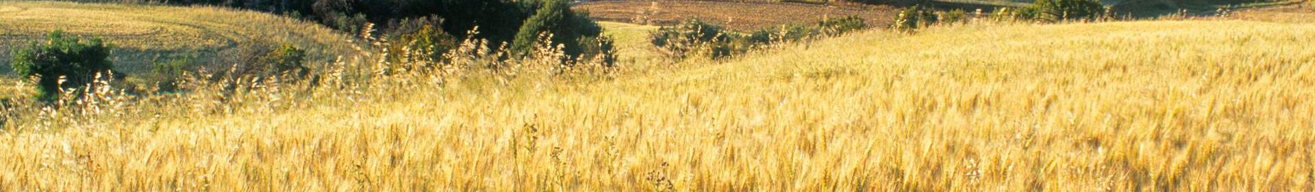 O grão de trigo é um alimento básico usado para fazer farinha e, com esta, o pão, na alimentação dos animais domésticos e como ingrediente no fabrico de cerveja. O trigo é também plantado estritamente como forragem para animais domésticos, como o feno.
